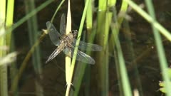 Dragonfly, Four-spotted Chaser perched on waving reed - side view - and flies away.