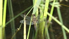 Dragonfly, Four-spotted Chaser perched on waving reed - close up - and flies away.