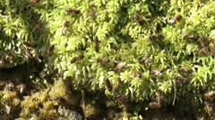 Honey Bees collecting water from sphagnum. A clean supply of water is essential for the operation of a honeybee colony.