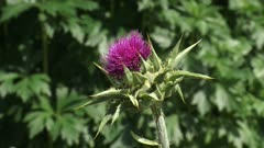 Spiny bracts and pink flower head of Silybum marianum, or Milk Thistle.