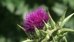 Spiny bracts and pink flower head of Silybum marianum, or Milk Thistle - close up.
