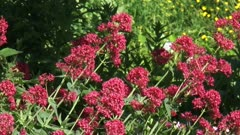 Centranthus ruber or red valerian blooming - zoom out garden.