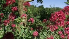 Centranthus ruber or red valerian blooming - eye level