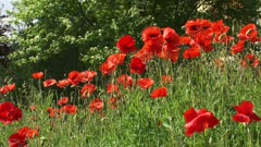 poppies blooming in summer breeze under hawthorn row