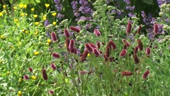 Herb garden in bloom,  Sanguisorba officinalis (great burnet) and Salvia officinalis