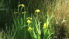 Iris pseudacorus, yellow iris blooming in reedland + summer breeze.