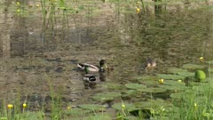 Ducks (anas platyrhynchos) dabbling and upending in shallow water
