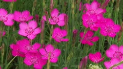 Pink flowerheads of Maiden pink, Dianthus deltoides, blooming in dry grassy habitat + zoom out