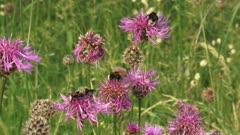 Wild bees feeding on Centaurea scabiosa, Greater Knapweed - medium shot.  Greater knapweed is found growing in dry grasslands and is a valuable plant to bees.