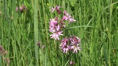 Ragged Robin, Lychnis flos-cuculi or silene flos-cuculi is native to Europe, where it is found along roads and in wet meadows and pastures.
