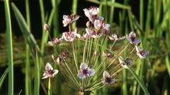 Hoverfly on flowering rush, grass rush (butomus umbellatus)