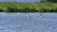 greylag goose (anser anser) in natural habitat swims with offspring wide shot