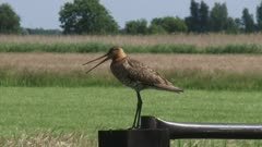 black-tailed godwit (limosa limosa) calling from a country gate - medium shot