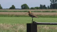 black-tailed godwit (limosa limosa) calling from a country gate - wide shot
