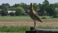 black-tailed godwit (limosa limosa) sits a country gate and flies away - close up