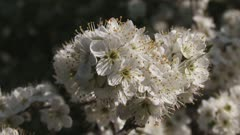 hawthorn blooming (Prunus spinosa) - close up