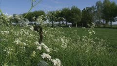 Anthriscus sylvestris, Cow Parsley in wind on field edge river landscape - wide shot + pan