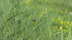 Dragonfly, Four-spotted Chaser perched on waving grass blade + fly away