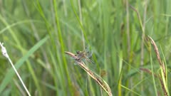 Dragonfly, Four-spotted Chaser perched on reed plume and flies away.