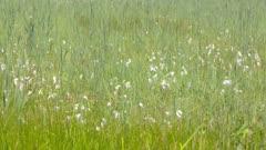 Fluffy white heads of Eriophorum angustifolium, common cottongrass in peat meadow - full screen