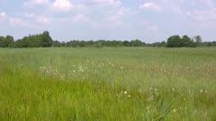 Fluffy white heads of Eriophorum angustifolium, common cottongrass in peat meadow