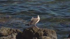 Young seagull at rocky coast, Cap Formentor, Majorca, Balearic Islands, Spain, Mediterranean, Europe