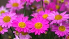 Pink flowers, Rhineland-Palatinate, Germany, Europe