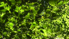 Foliage in a beech forest, Rhineland-Palatinate, Germany, Europe