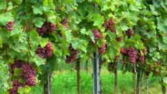 Bunch of grapes in a vineyard, Moselle Valley, Rhineland-Palatinate, Germany, Europe