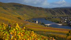 Vineyards in autumn near Piesport, Moselle Valley, Rhineland-Palatinate, Germany, Europe