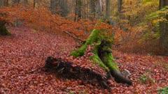 Tree stump in autumnal forest, Freudenburg, Rhineland-Palatinate, Germany, Europe