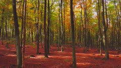 Flight through an autumn beech forest, Freudenburg, Rhineland-Palatinate, Germany, Europe