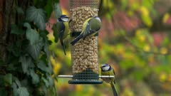 Bird feeding, Rhineland-Palatinate, Germany, Europe