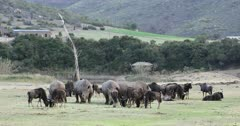Rhinoceros and wildebeest, Botlierskop Private Game Reserve, Western Cape, South Africa, Africa