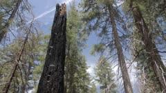 Burned down Giant Sequoias at Tuolumne Grove, Yosemite Valley, UNESCO World Heritage Site, California