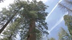 View of Giant Sequoias at Tuolumne Grove, Yosemite Valley, UNESCO World Heritage Site, California