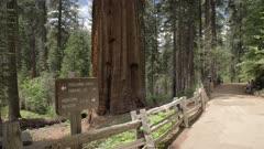The Big Oak Flat road at Tuolumne Grove and Giant Sequoias, Yosemite Valley, UNESCO World Heritage Site, California