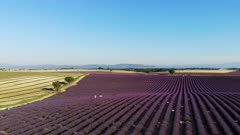 Lavender fields on the Plateau de Valensole in Provence, France, Europe