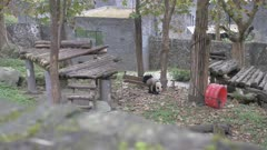 Giant Pandas in the Dujiangyan Panda Base Chengdu, Sichuan Province, People's Republic of China, Asia