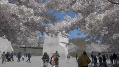 People and cherry blossom revealing Martin Luther King Jr. Memorial, Washington DC, United States of America, North America