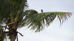 A common Myna resting on coconut branches.