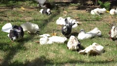 Group of pigeons with tag on leg walk at green grass.