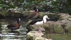 Tadorna radjah duck in the pond at bird park.