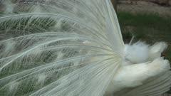White peafowl pavo cristatus turn the body and shake the body.