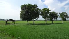 Panning the green trees beside little hut in paddy field.
