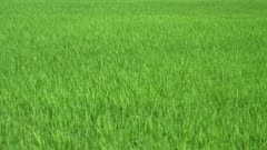 Move in green paddy field. natural outdoor
