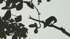 Silhouette selection focus crow stand the the branch of tree.