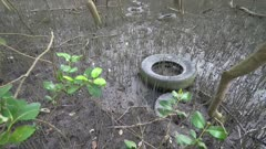 Tilting of pollution car tire left at mangrove tree forest.