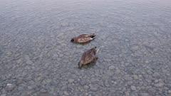 Two mallard ducks swim in the lake with stone.