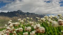 Zoom to snow Mount Remarkable, South Island, New Zealand during spring with white clover as bokeh in foreground.